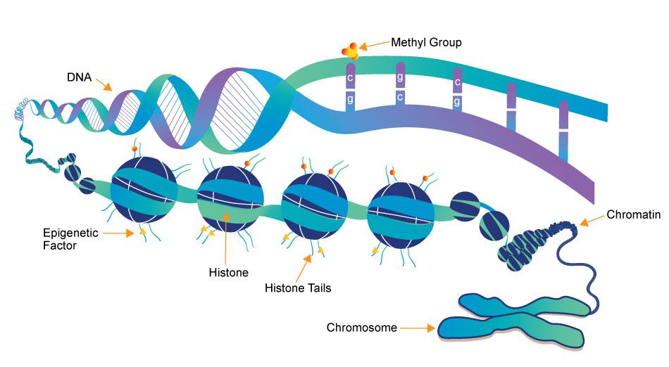 Mechanism of epigenetic modifications