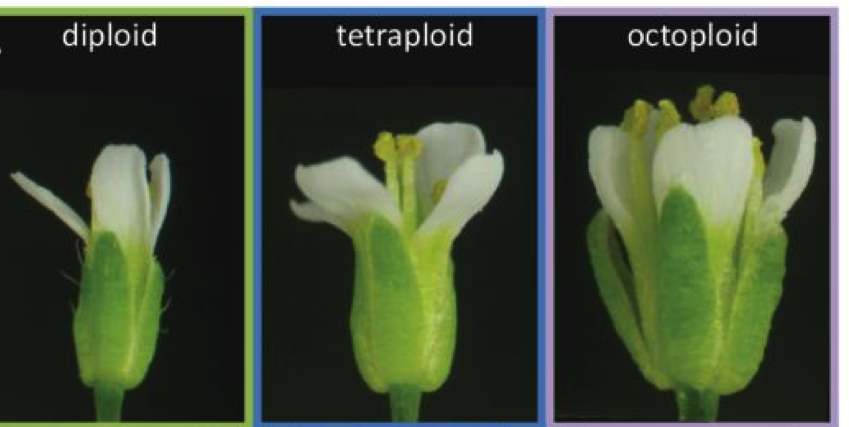 polyploidy in plants